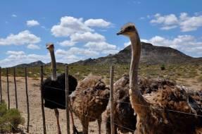 Mooiplaas-Ostrich-farm