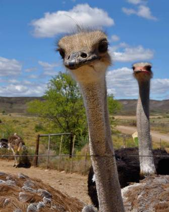 The-tale-of-the-curious-ostrich