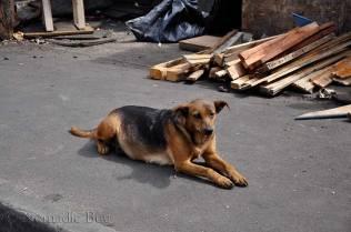 Township dog