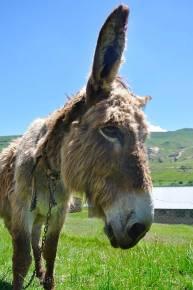 A Lesotho donkey