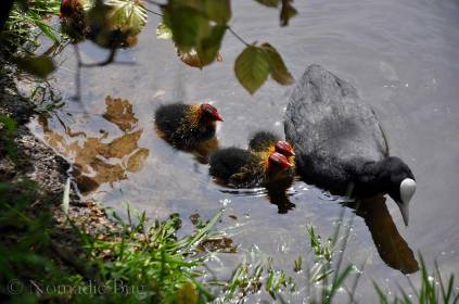 Coot and younglings