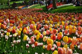 Rolling hills of Tulips