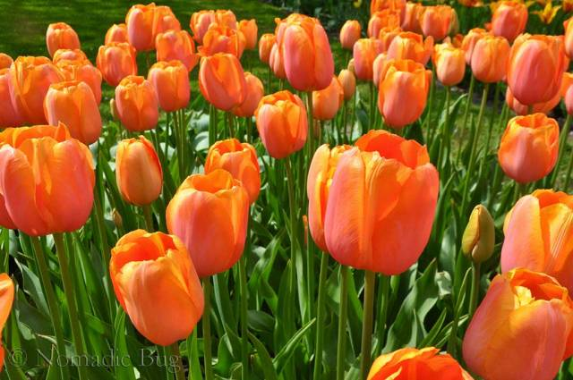 Orange Dutch Tulips