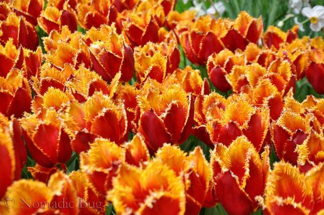 Orange serated Tulips